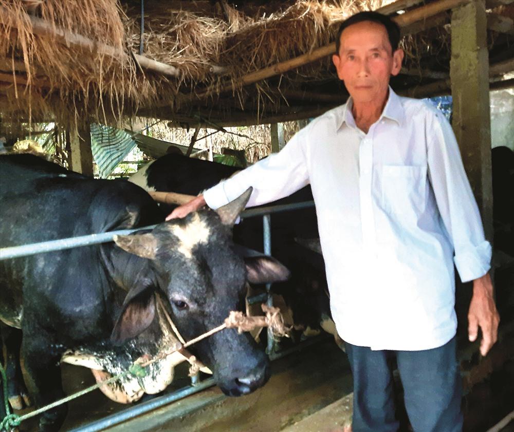 Lứa đầu tiên, nuôi 4 con bò 3B trong vòng 1 năm, ông Dương Phú Nam ở thôn Triêm Nam (xã Điện Phương, Điện Bàn) lãi ròng gần 100 triệu đồng.  Ảnh: NHÃ PHƯƠNG