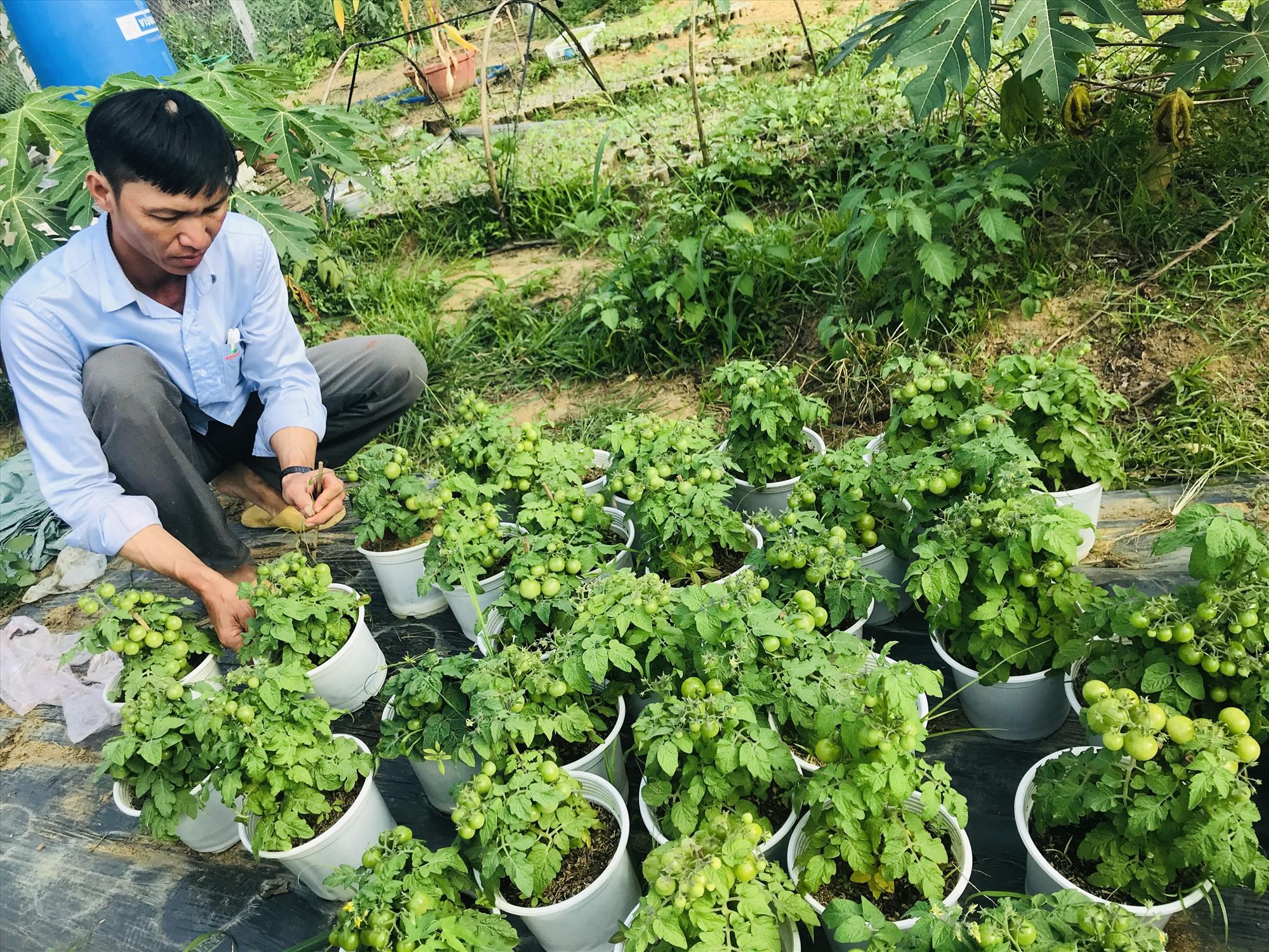 Anh Thành chăm sóc cà chua bi bonsai. Ảnh: C.N