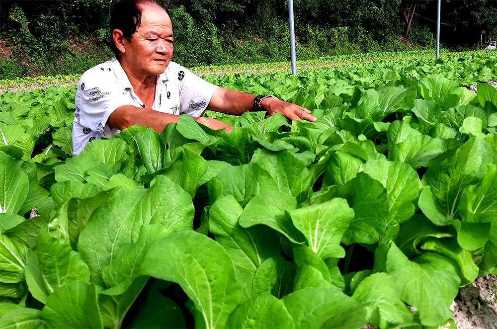 Trồng rau VietGAP trong xây dựng nông thôn mới đem lại thu nhập cao cho người dân. Ảnh: VIỆT NGUYỄN
