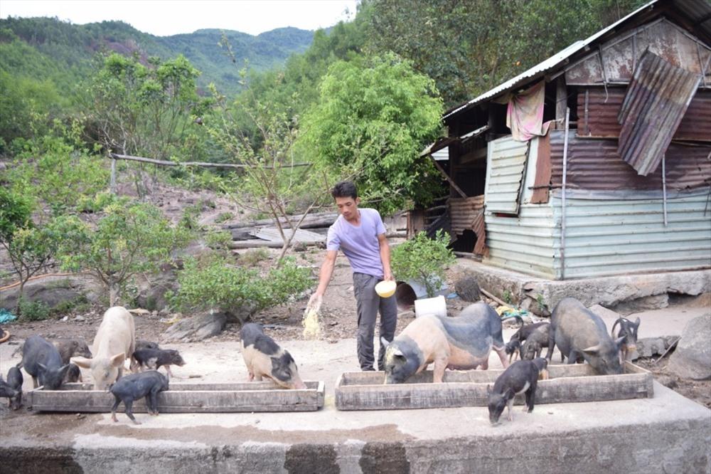 Mô hình nuôi heo đen cho thu nhập cao của anh Nguyễn Quốc Bình - Ảnh: THÁI CƯỜNG