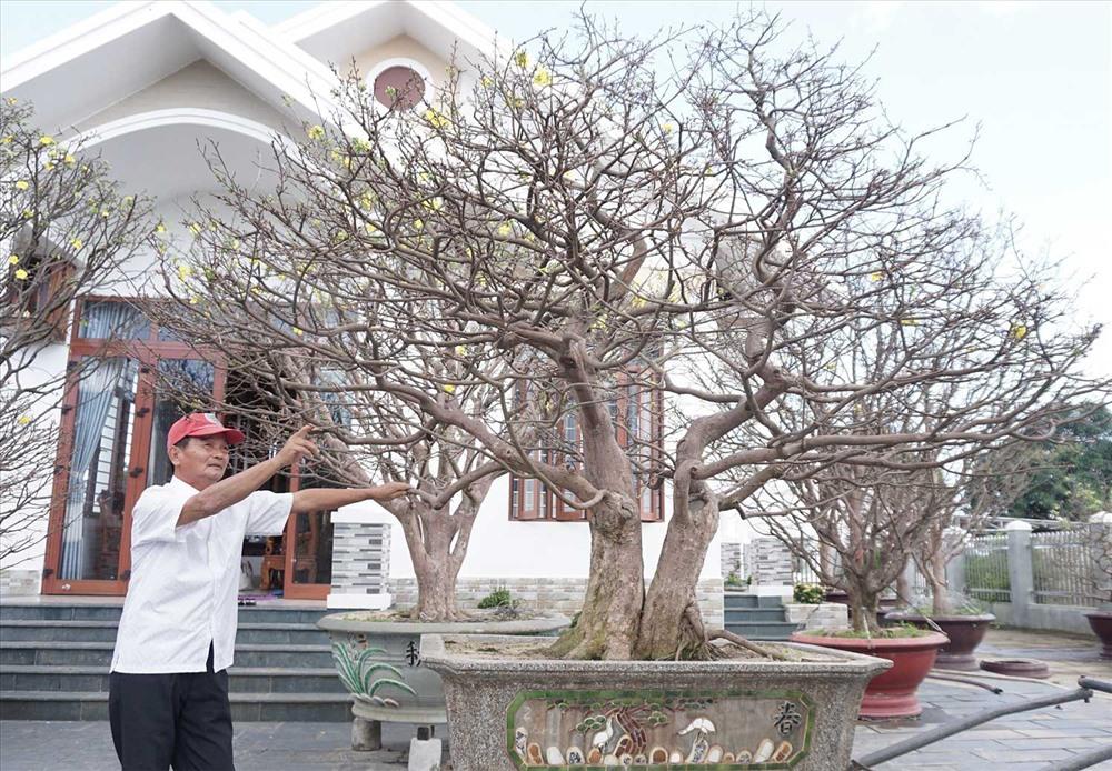 """Ông Trúc chăm sóc cây mai """"phu thê"""" rất kỳ công. Ảnh: L.Trang"""