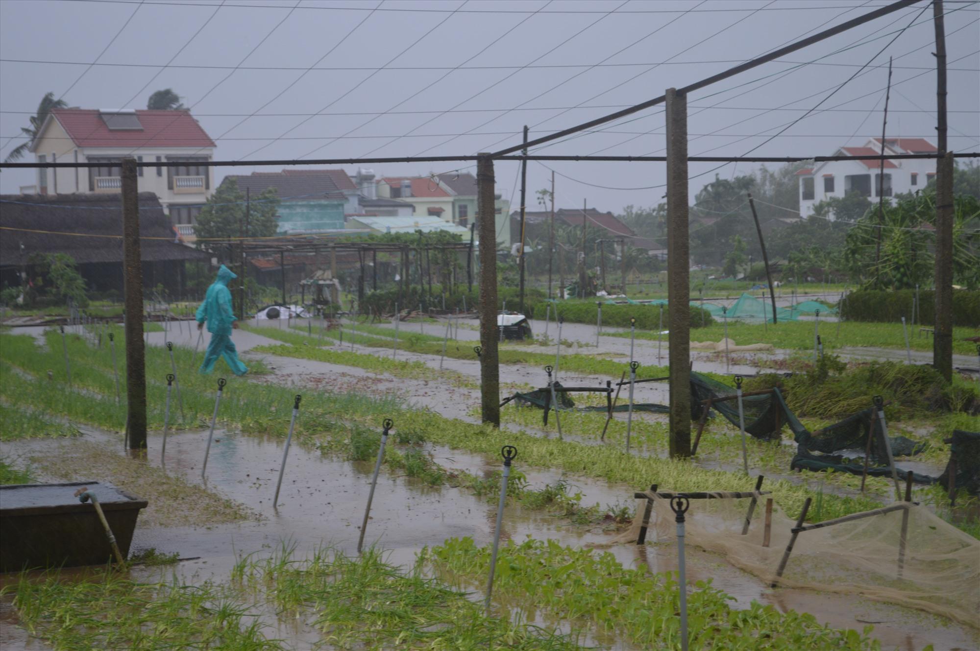 Làng rau Trà Quế bị hư hại hoàn toàn do mưa lũ