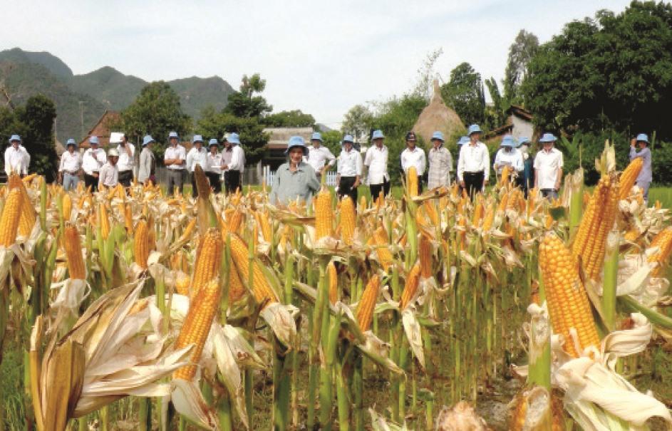 Liên kết với doanh nghiệp sản xuất bắp giống và bắp thương phẩm, thu nhập của nông dân tăng lên đáng kể. Ảnh: VĂN SỰ