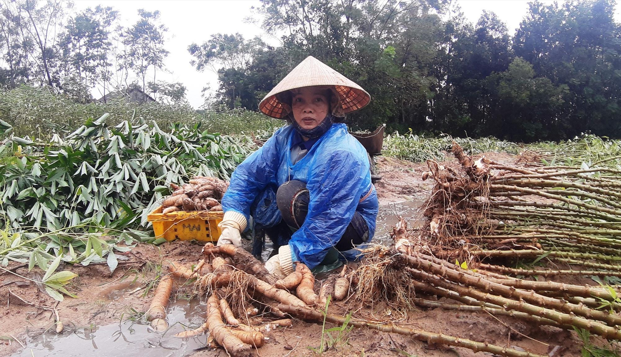 Những ngày qua, nông dân nhiều địa phương dầm mưa thu hoạch sắn. Ảnh: H.N