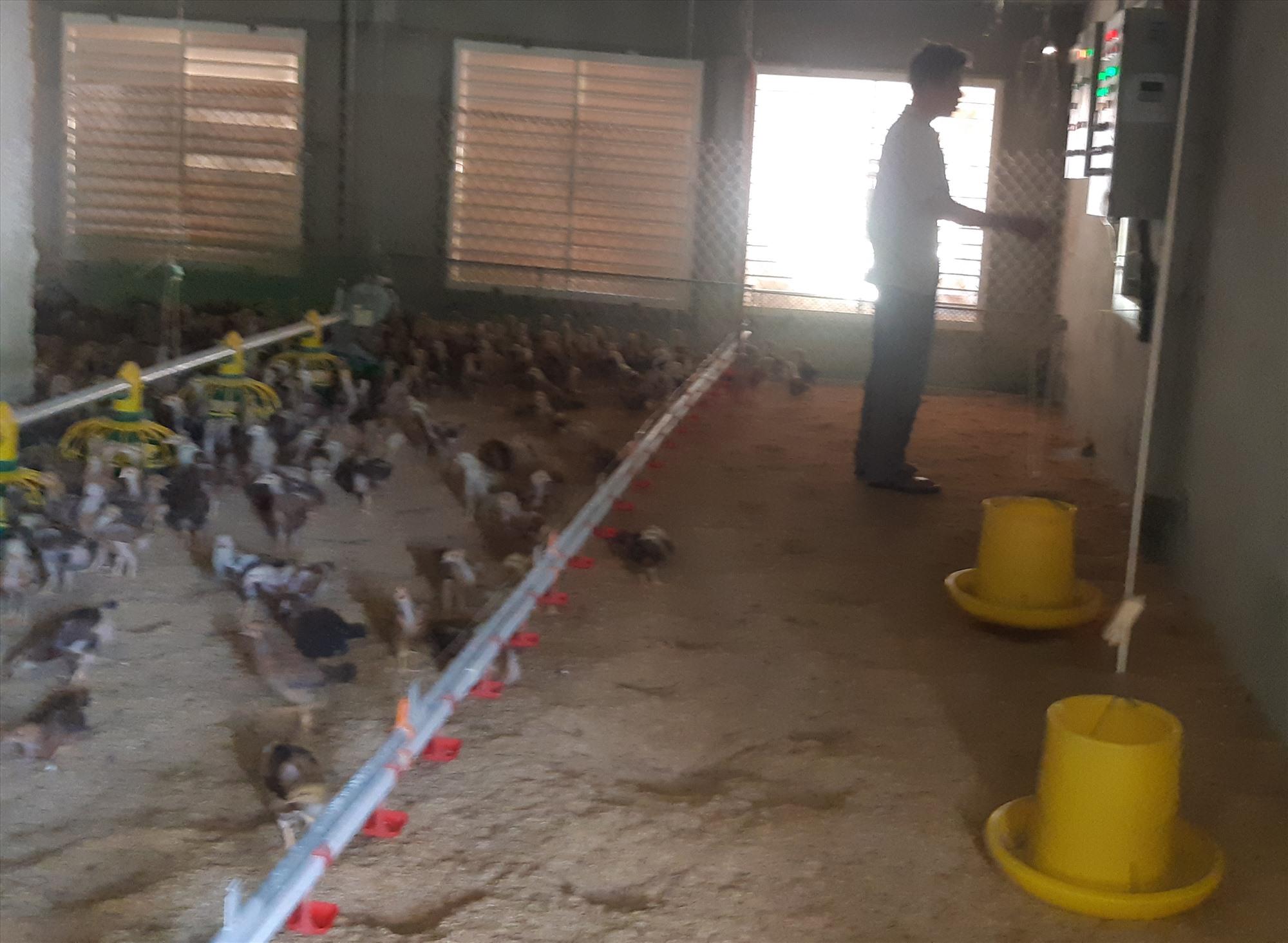 Mô hình chăn nuôi gà trong phòng lạnh với quy mô lớn trên đất Tam Xuân 1, Núi Thành. Ảnh: TRIÊU NHAN