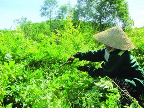 Cây chè dây huyện Đông Giang. Ảnh: T.N