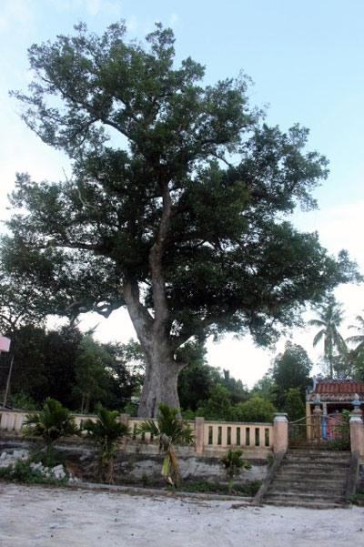 Một cây Kơ nia cổ thụ tại thôn Phú Hòa 1, xã Hòa Nhơn, huyện Hòa Vang (TP.Đà Nẵng). Nguồn: baodanang.vn
