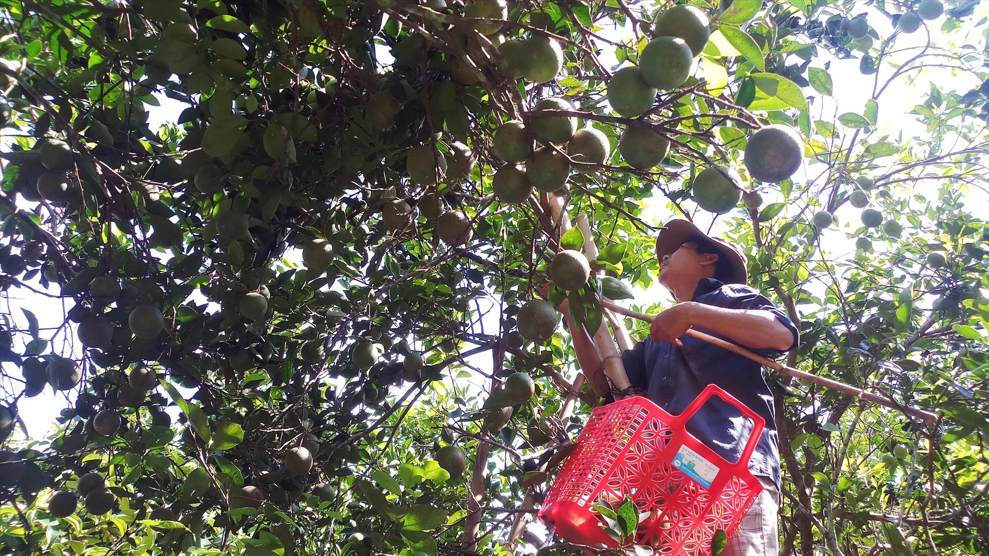 Huyện Tiên Phước hỗ trợ gần 10 tỷ đồng giúp người dân phát triển kinh tế vườn, kinh tế trang trại, du lịch sinh thái...