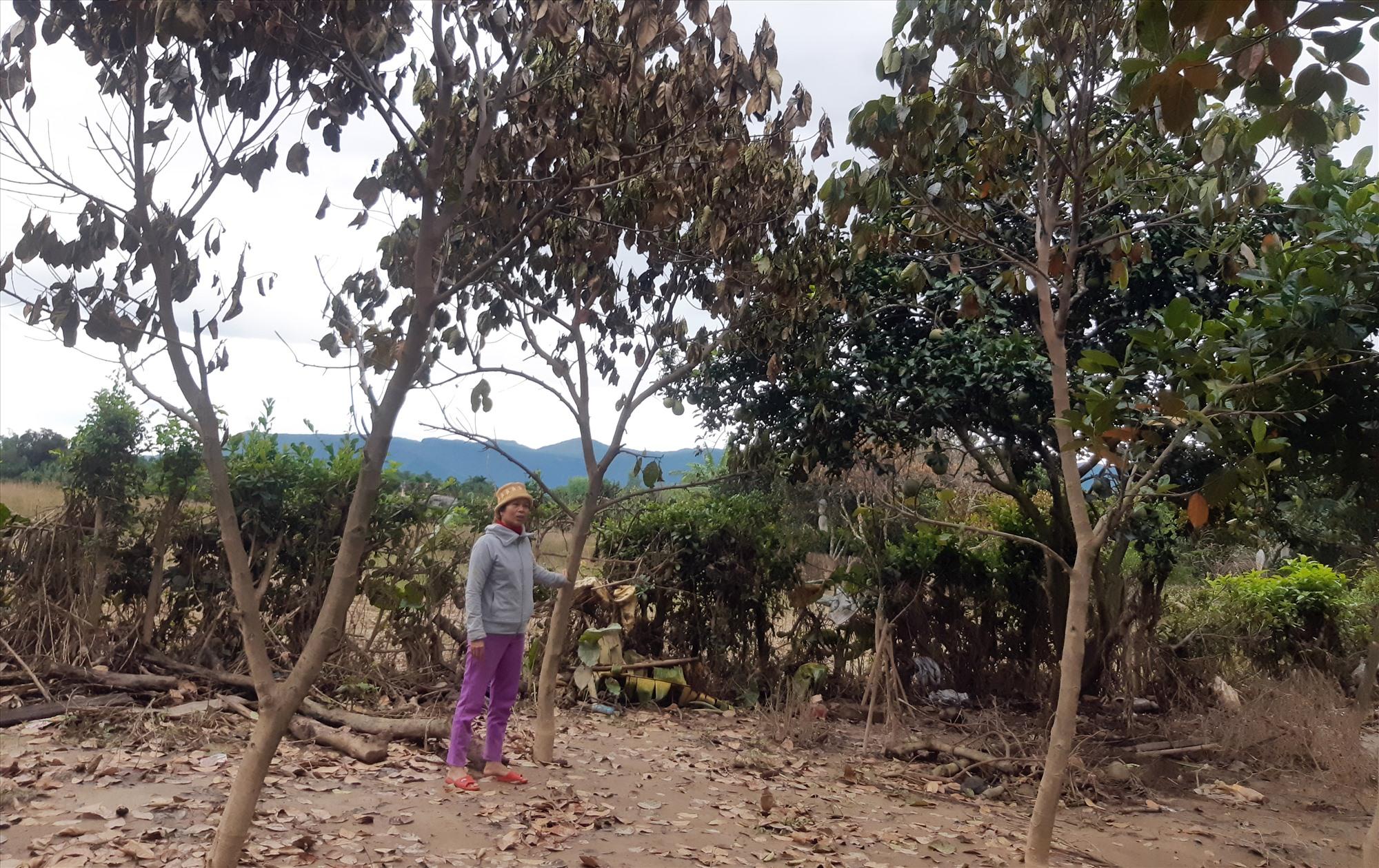 Vườn cây ăn quả của chị Trương Thị Nhơn (thôn Thái Chấn Sơn, Đại Hưng) bị thiệt hại nặng nề do lũ lụt. Ảnh: HOÀNG LIÊN