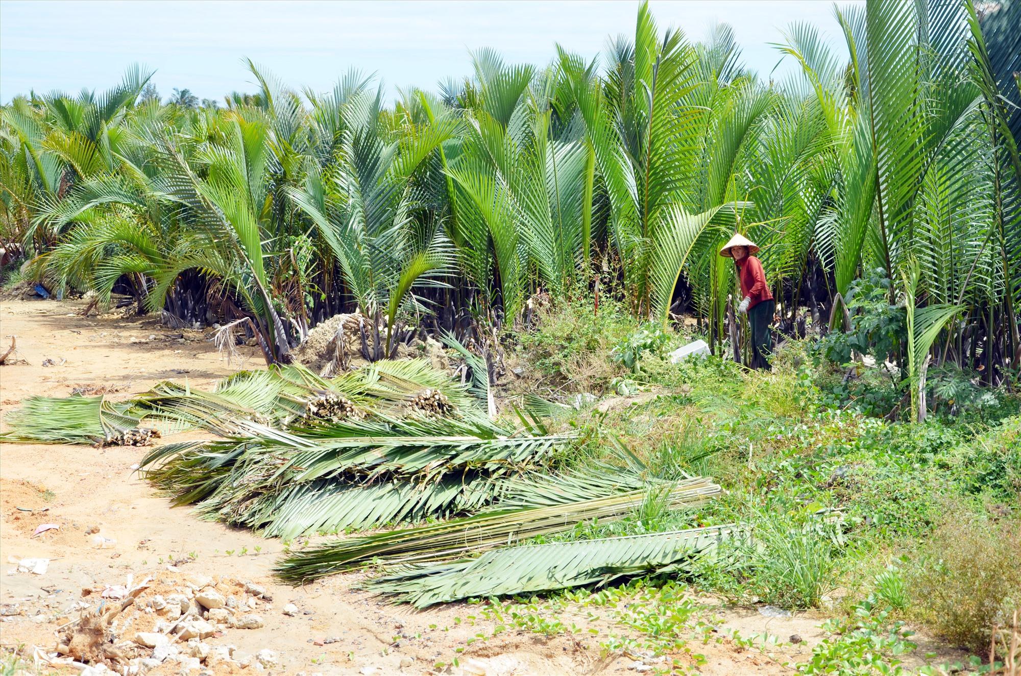 Rừng dừa nước ở xã Cẩm Thanh (Hội An) ngoài chống biến đổi khí hậu hiệu quả còn cải thiện sinh kế bền vững cho người dân địa phương. Ảnh: N.T