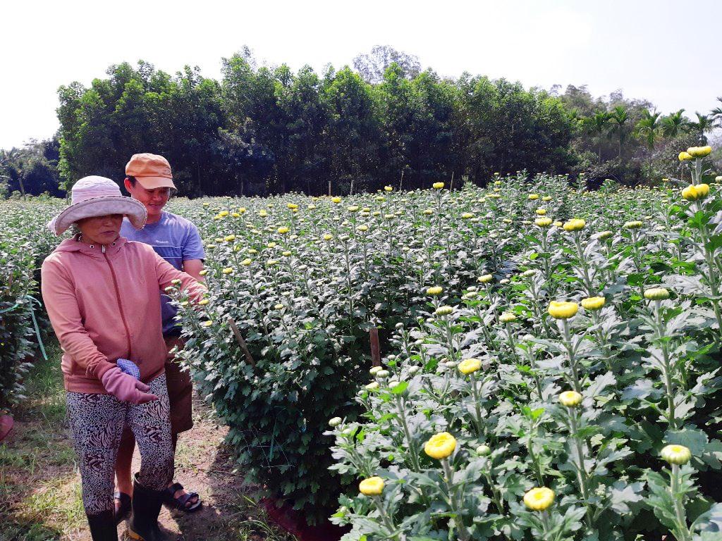 Vườn hoa cúc của gia đình bà Trần Thị Có. Ảnh: PHẠM LỘC