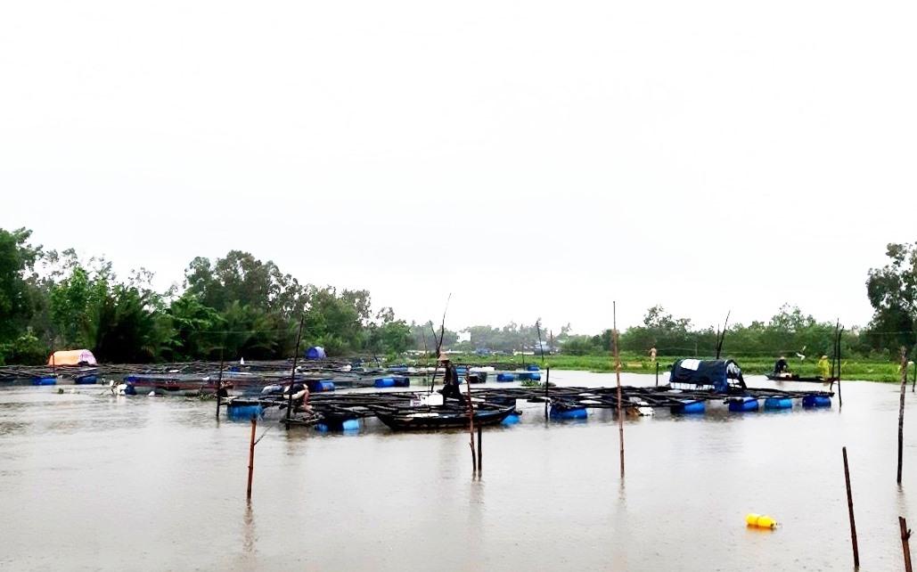 Các hộ nuôi cá trong lồng bè ở sông Tam Kỳ đoạn chảy qua thôn Tân Phú, xã Tam Phú neo cột các lồng bè nuôi cá để tránh bị cuốn trôi. Ảnh: VIỆT NGUYỄN