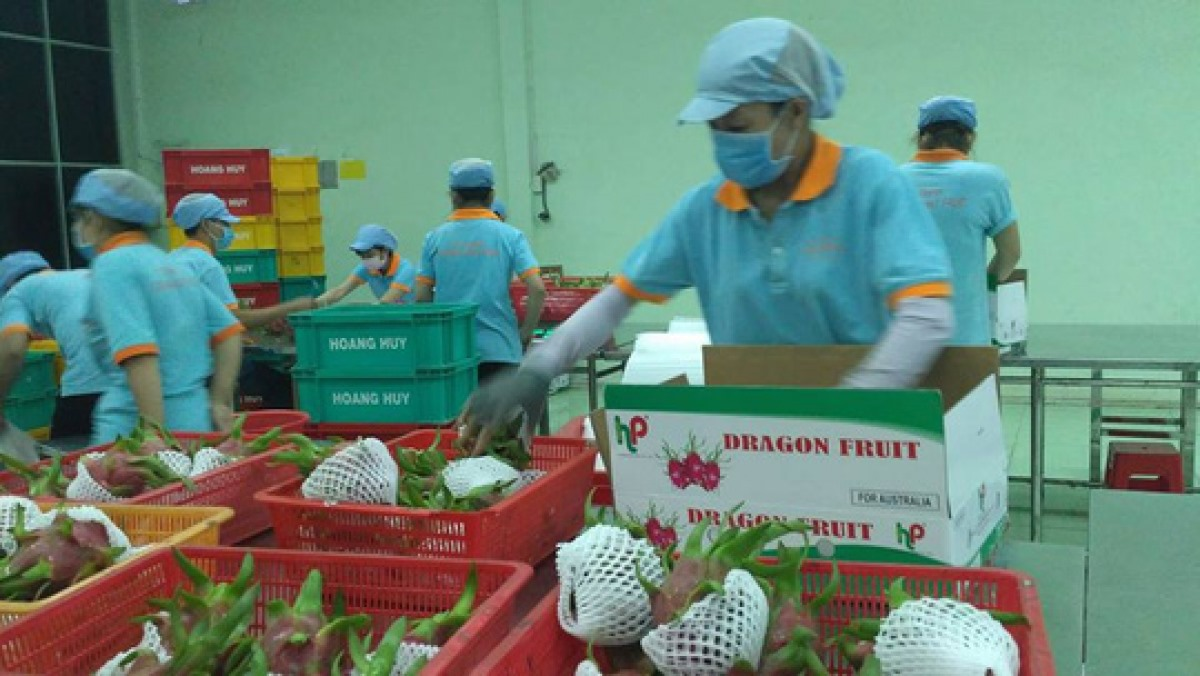 Dragon fruit is one of potential export items to the Indian market