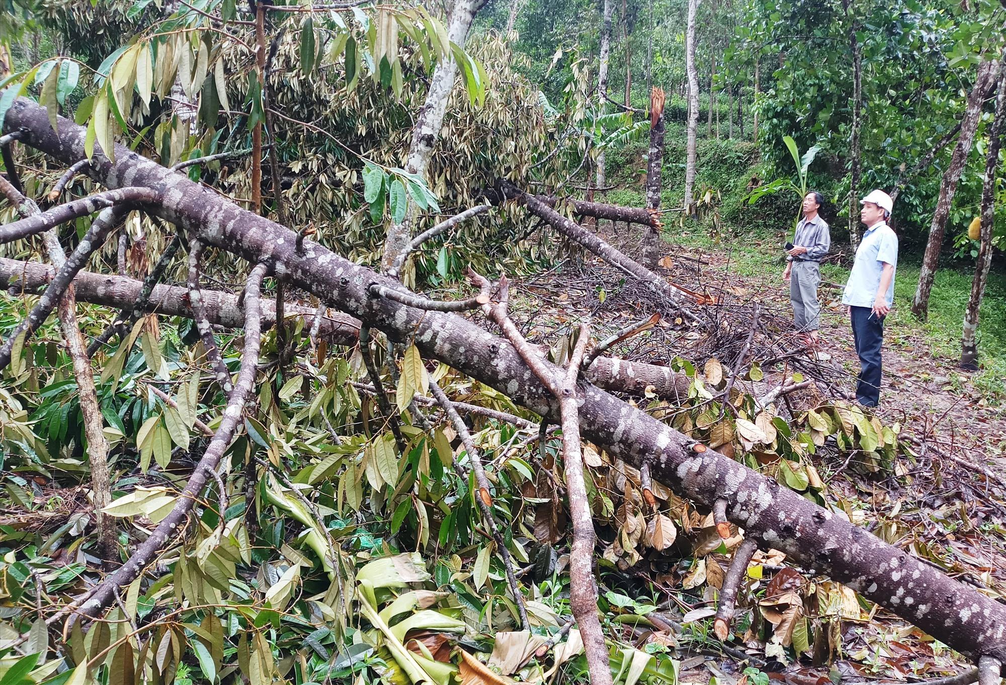Nhiều vườn cây ăn quả, cây công nghiệp lâu năm ở Tiên Phước bị hư hại do bão. Ảnh: N.HƯNG