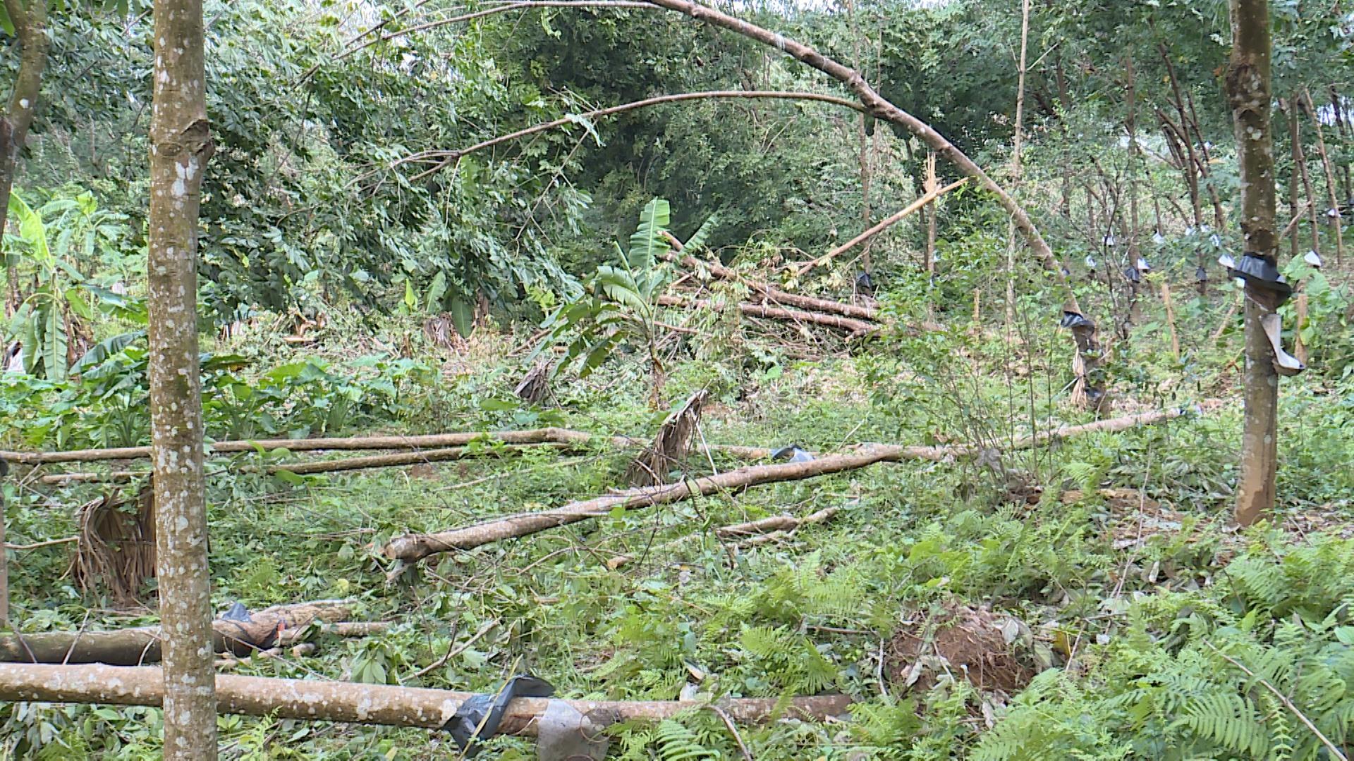 Nhiều hecta cao su tiểu điền của người dân bị ngã đổ, thiệt hại nặng nề.