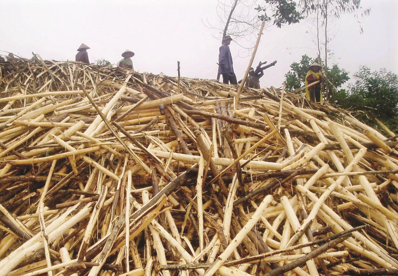 Cây keo mang lại giá trị kinh tế nhưng ít có tác dụng bảo vệ môi trường đất. Ảnh: H.P