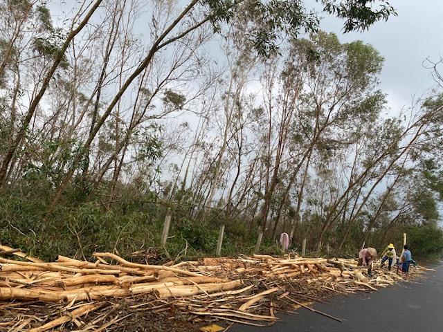 Người dân thôn Phú Bình, xã Tam Phú (Tam Kỳ) bán tháo rừng keo trồng bị đổ gãy do bão số 9. Ảnh: H.P