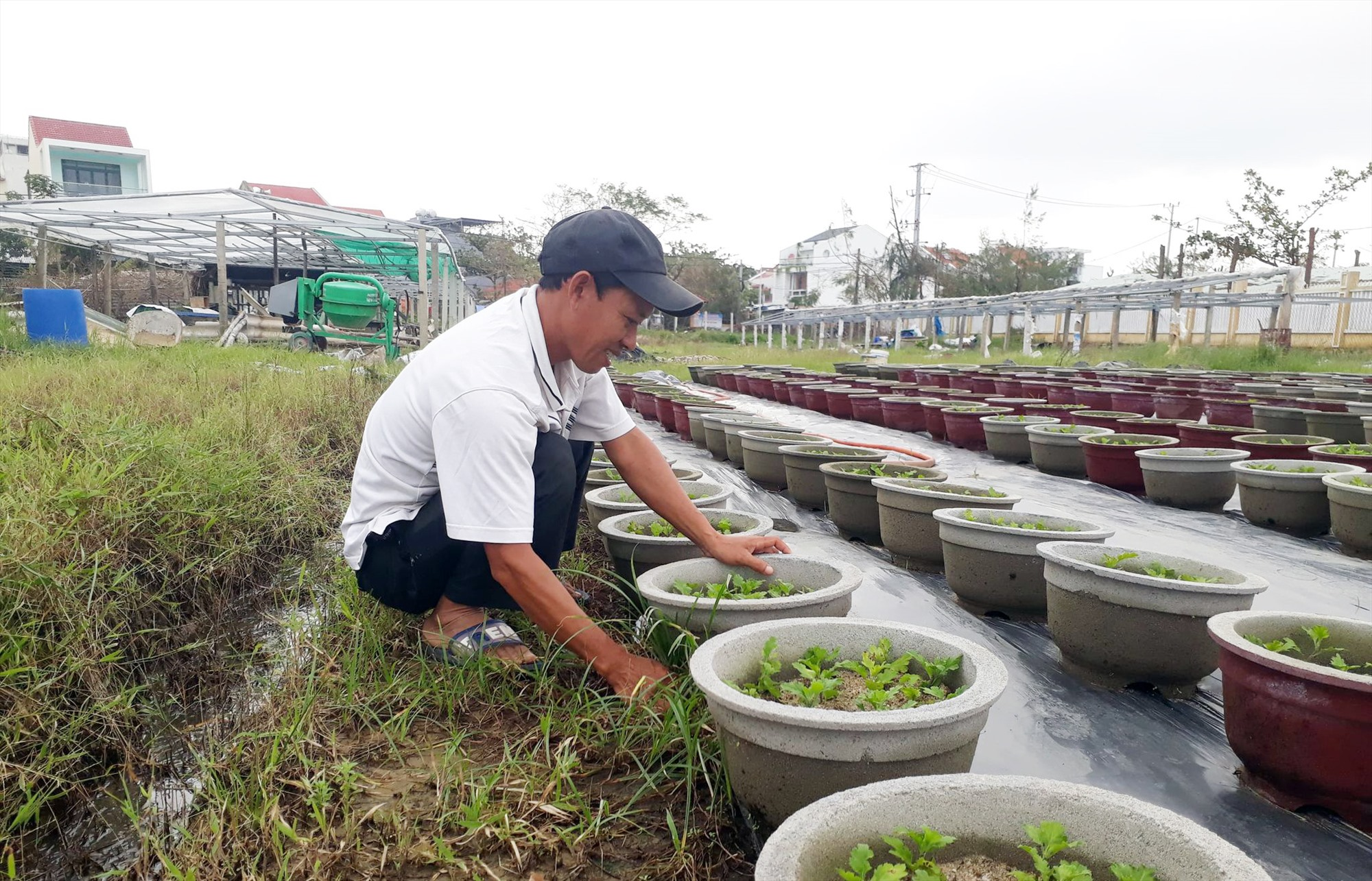 Ông Đinh Phú Châu (KP. Sơn Phô 1) đang làm cỏ cho vườn hoa cúc của mình với hi vọng có ít hoa bán phục vụ tết sau 2 lần trồng thất bại do mưa bão.