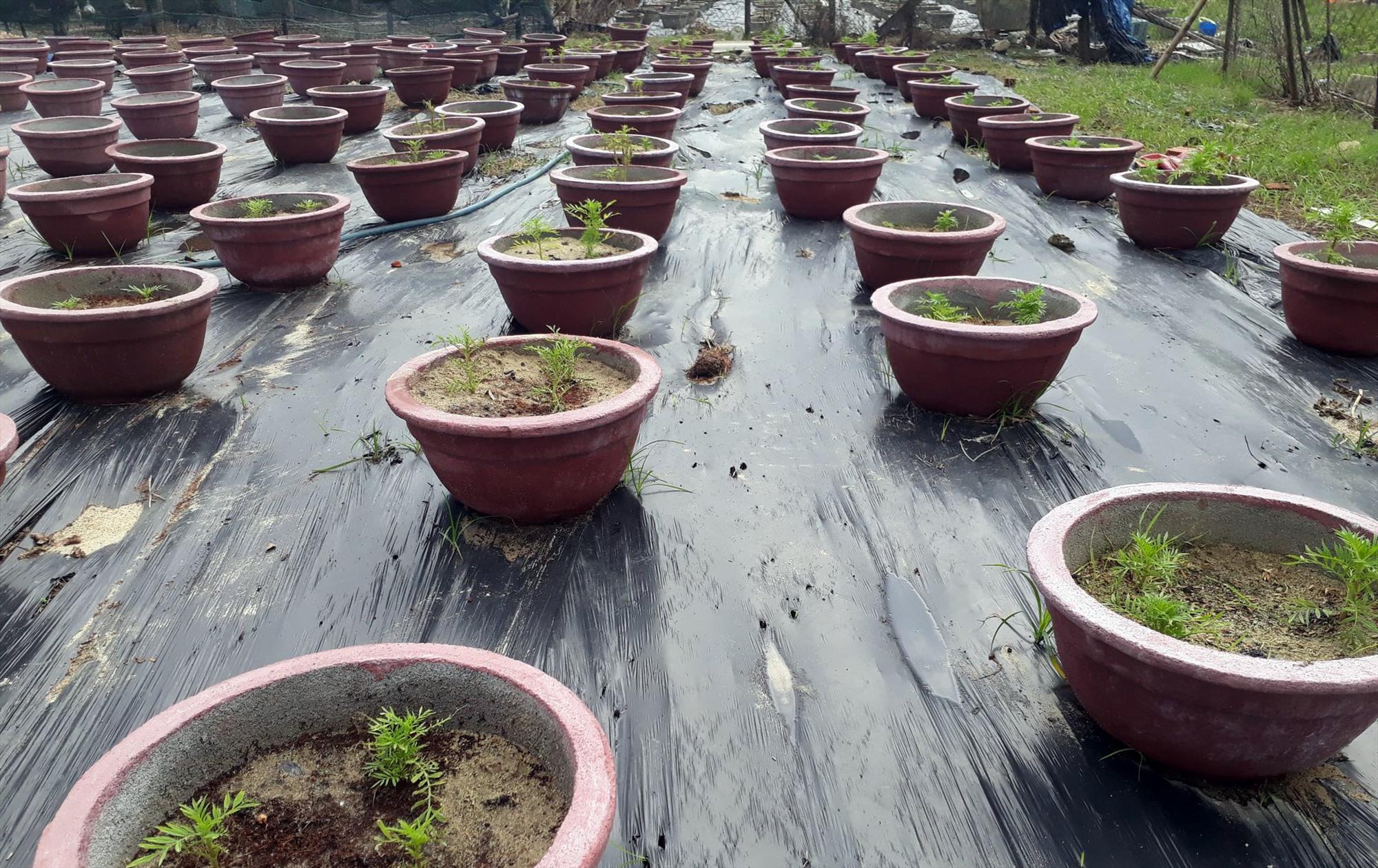 Một số vườn hoa của người dân ít bị ảnh hưởng của bão hoặc trồng sớm đang lên xanh tươi.