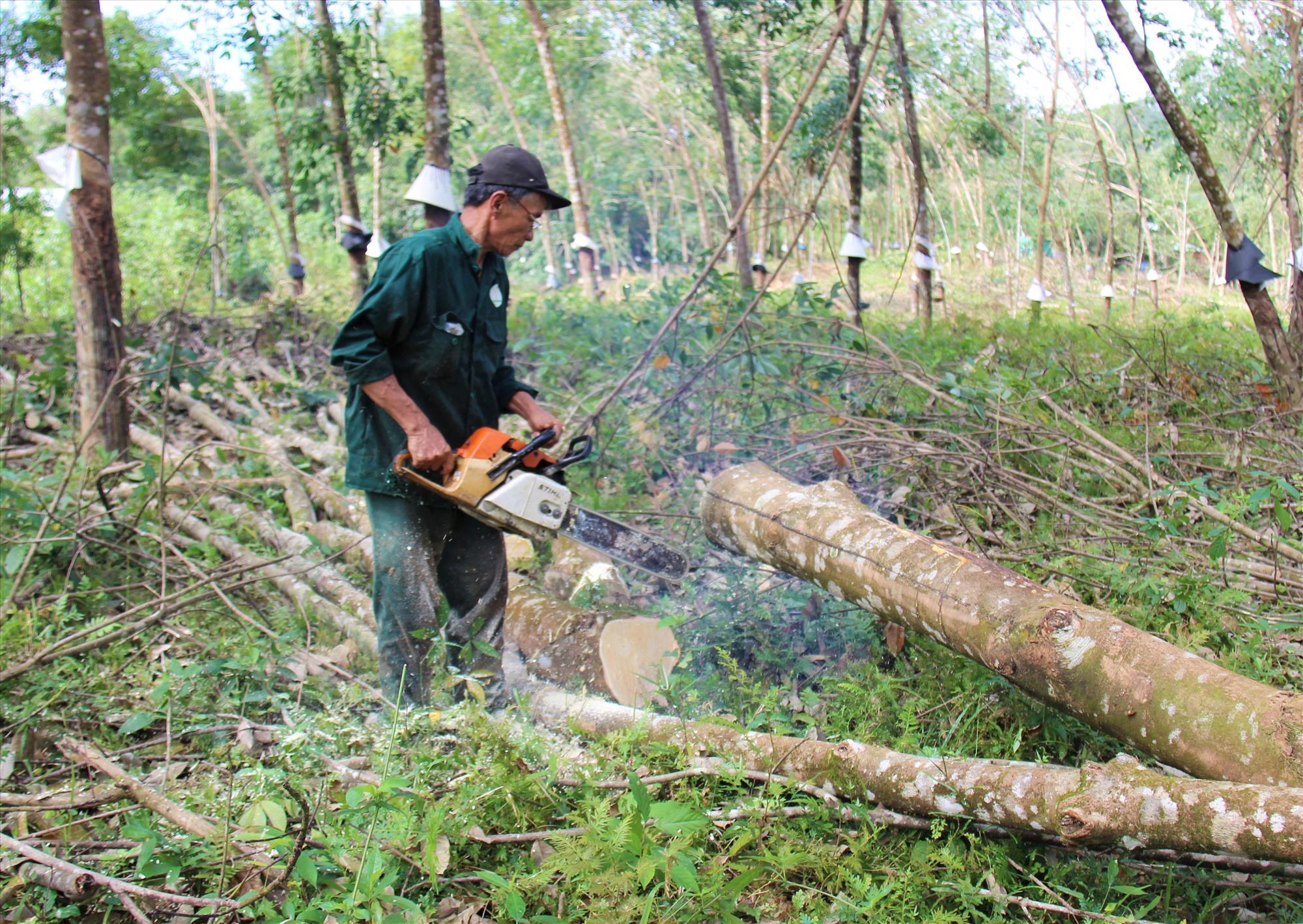 Những cây cao su gãy đổ có đường kính lớn được người dân khai thác bán gỗ.