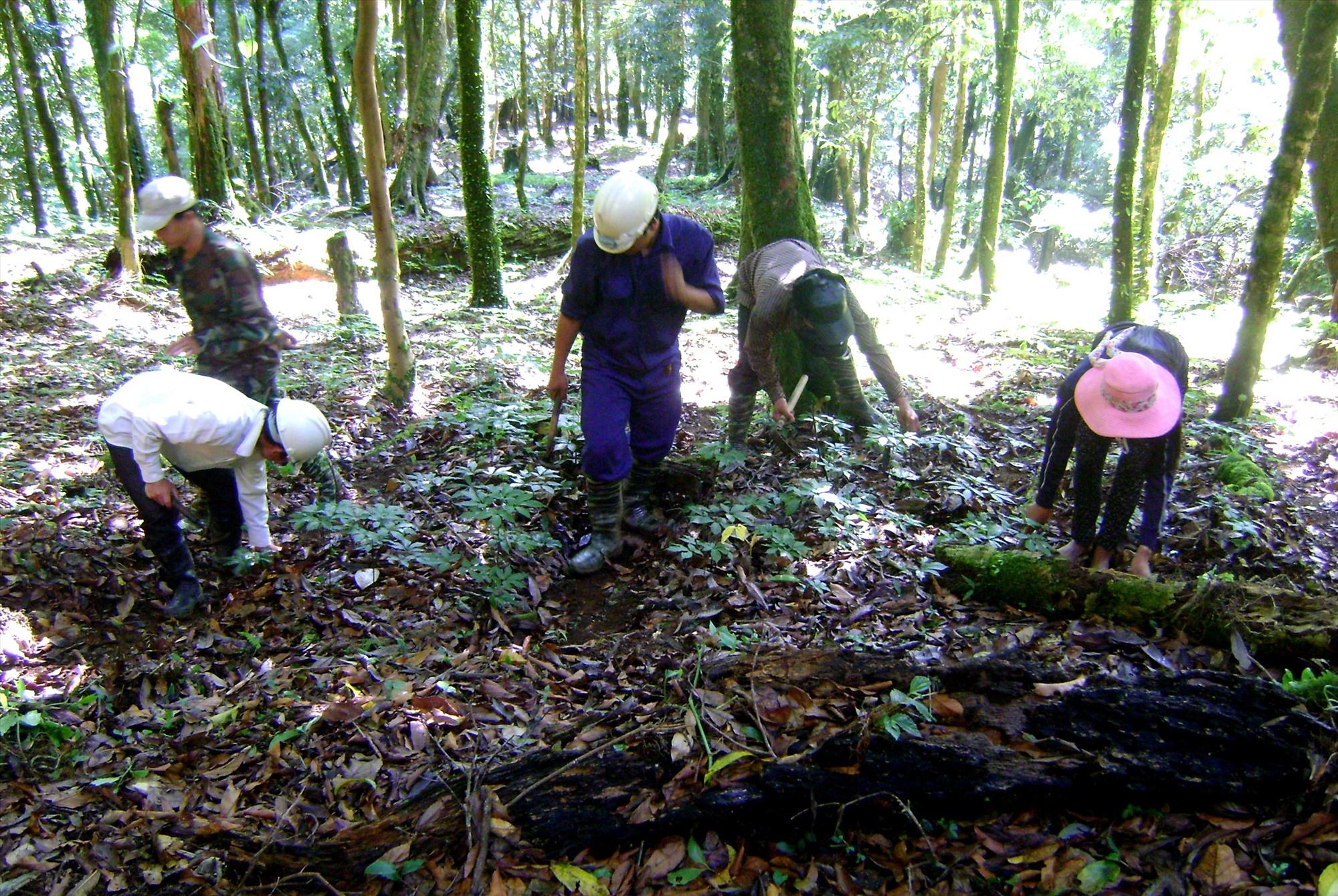 Các hộ trồng sâm Ngọc Linh chăm sóc phục hồi vườn sâm sau mưa lũ. Ảnh: Đ.N
