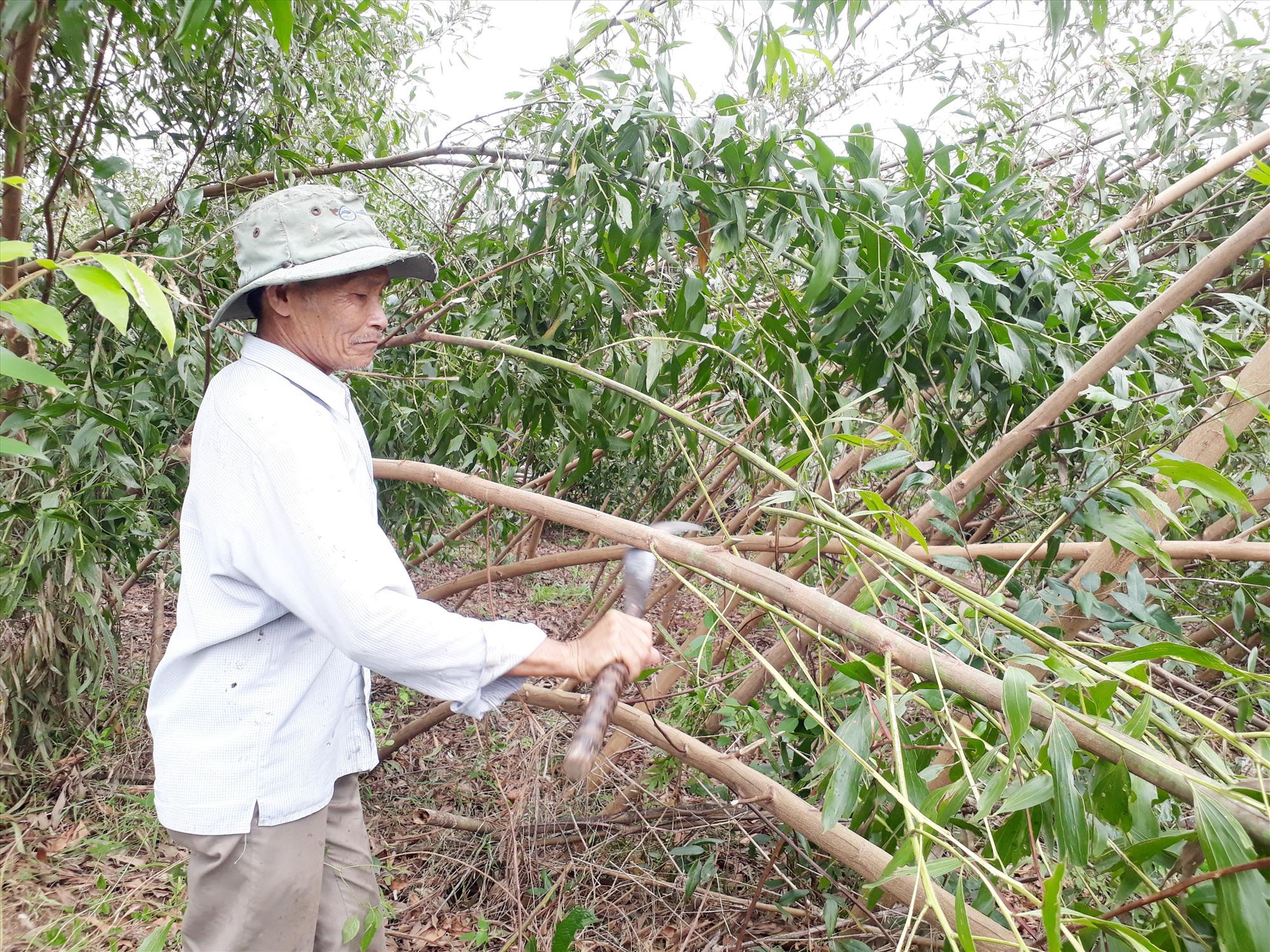 Người dân thị trấn Đông Phú (Quế Sơn) thu dọn những diện tích keo nguyên liệu bị ngã đổ vì bão số 9. Ảnh: T.S