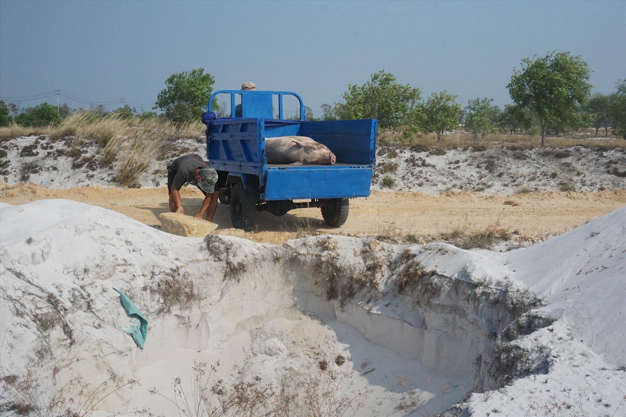 Việc tiêu hủy heo bị dịch tả lợn châu Phi ở xã Bình Giang được thực hiện chặt chẽ, đảm bảo.