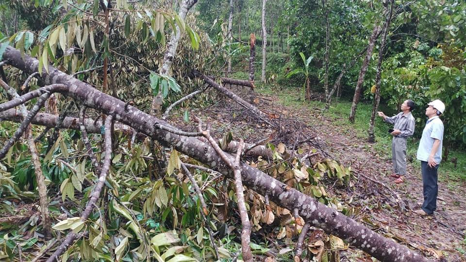 Vườn cây ăn trái tại Tiên Phước xác xơ sau bão. Ảnh: N.H