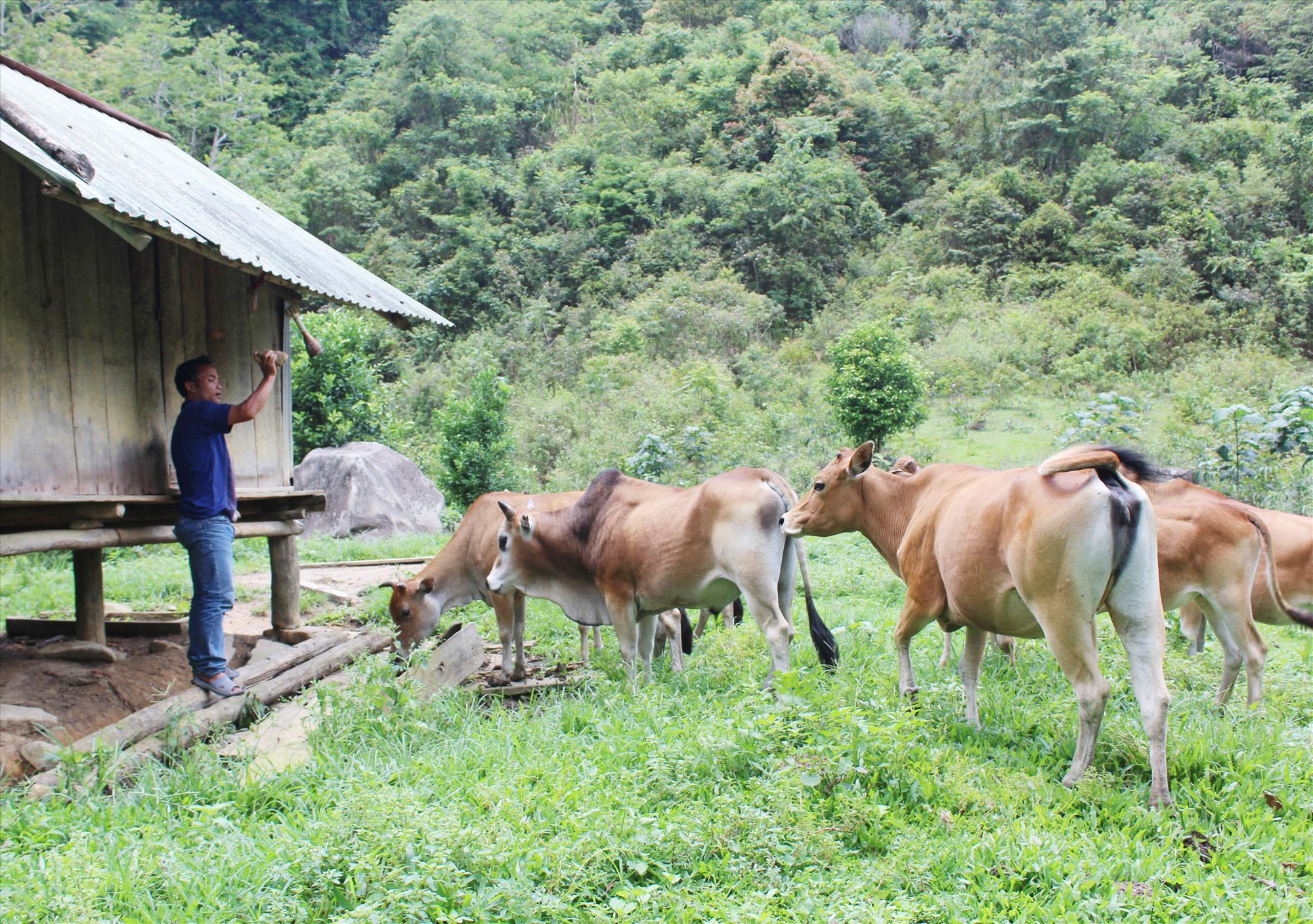 Chăn nuôi khoanh vùng kết hợp với làm chuồng trại cho trâu bò trú vào mùa đông là mô hình chăn nuôi hiệu quả ở các xã vùng cao Tây Giang. Ảnh: Đ.H