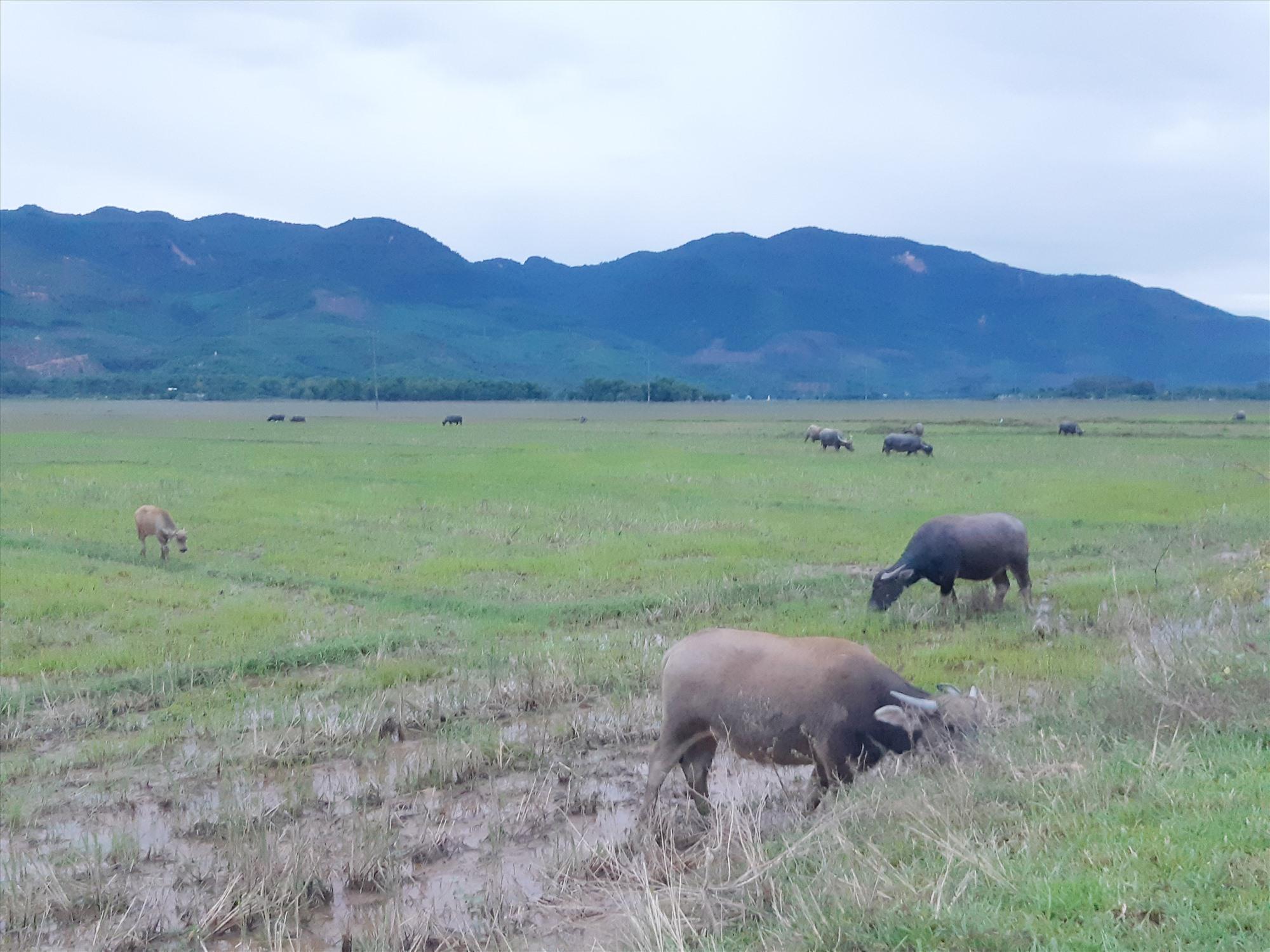 Việc thả rông đàn gia súc trong thời điểm dịch bệnh diễn biến phức tạp là một nguyên nhân khiến dịch bệnh lây lan. Ảnh: T.N