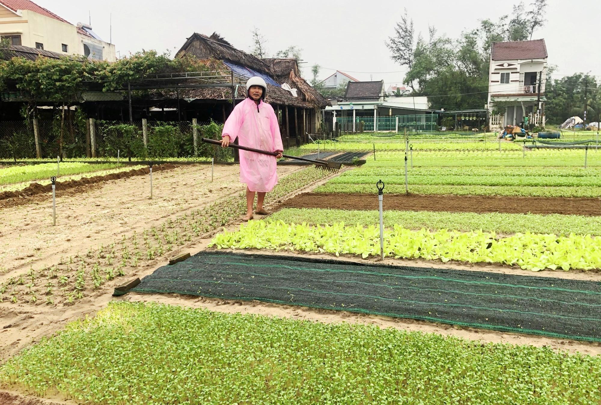 Người dân làng rau Trà Quế (xã Cẩm Hà) có thu nhập ổn định từ việc làm nông nghiệp. Ảnh: X.H