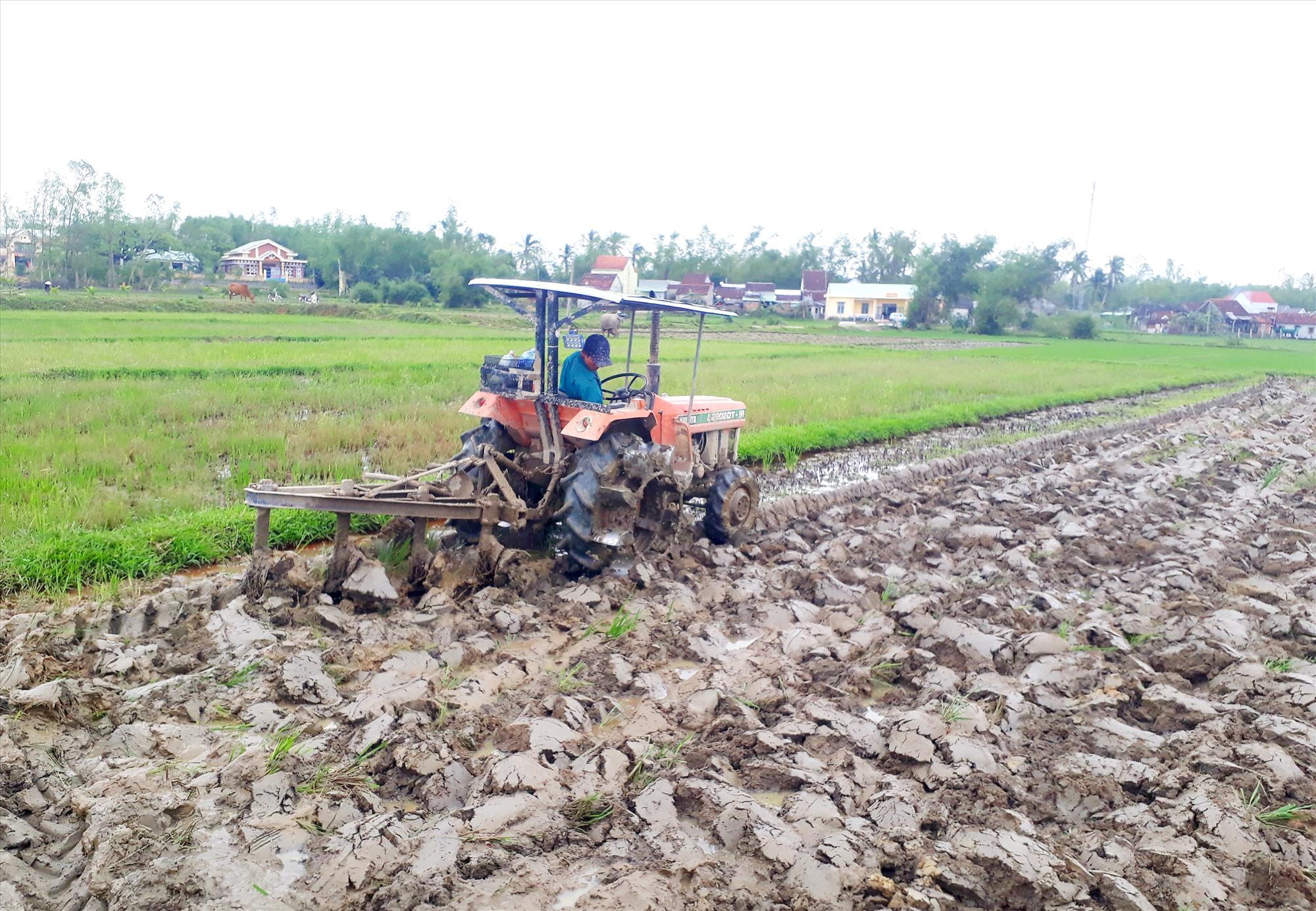 Nông dân Quế Sơn tập trung làm đất để chuẩn bị triển khai sản xuất đông xuân 2020 - 2021 theo đúng lịch thời vụ. Ảnh: T.L