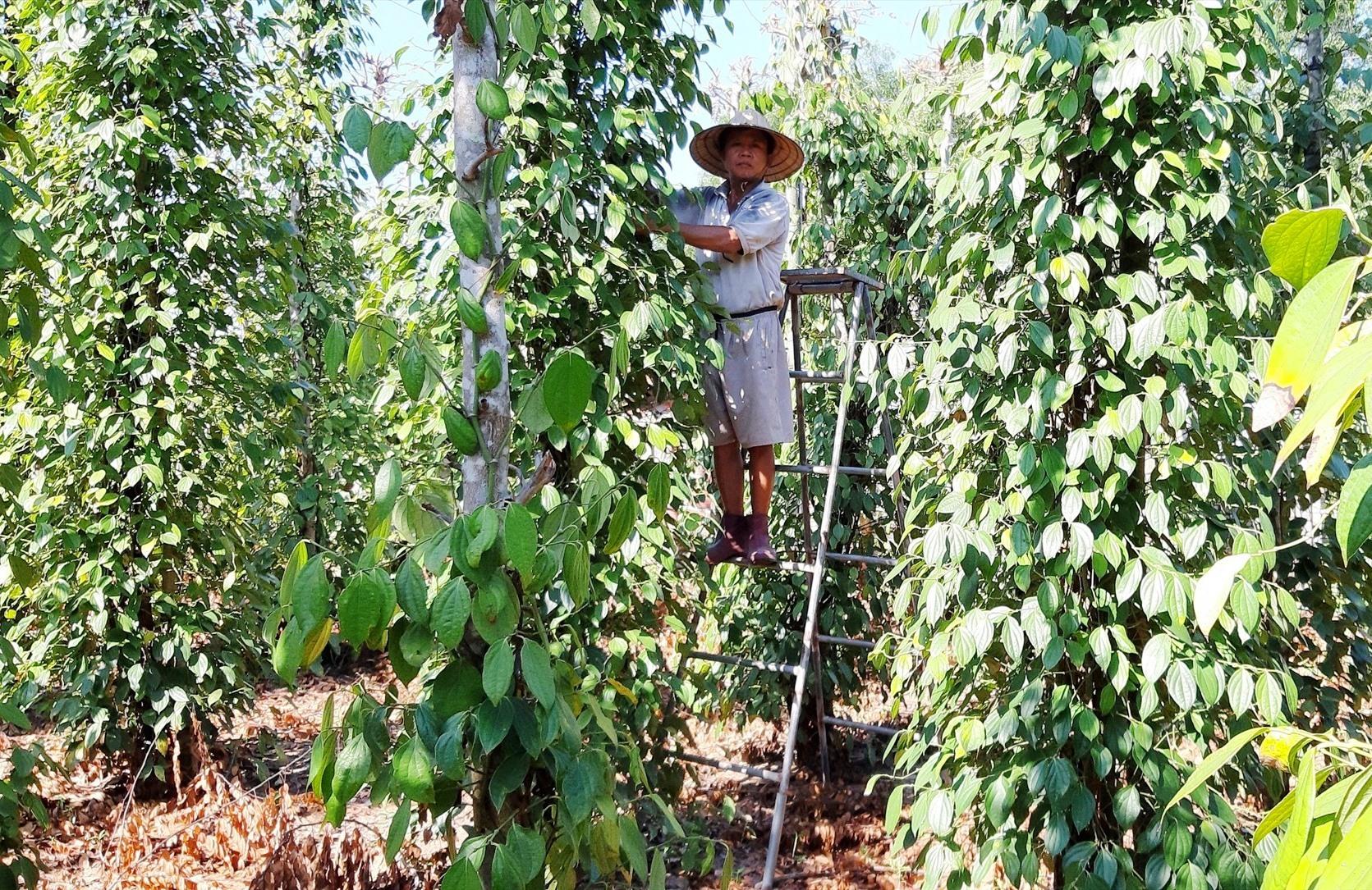 Những năm qua, lĩnh vực kinh tế vườn của Duy Thu có bước chuyển biến mạnh mẽ. Ảnh: T.P