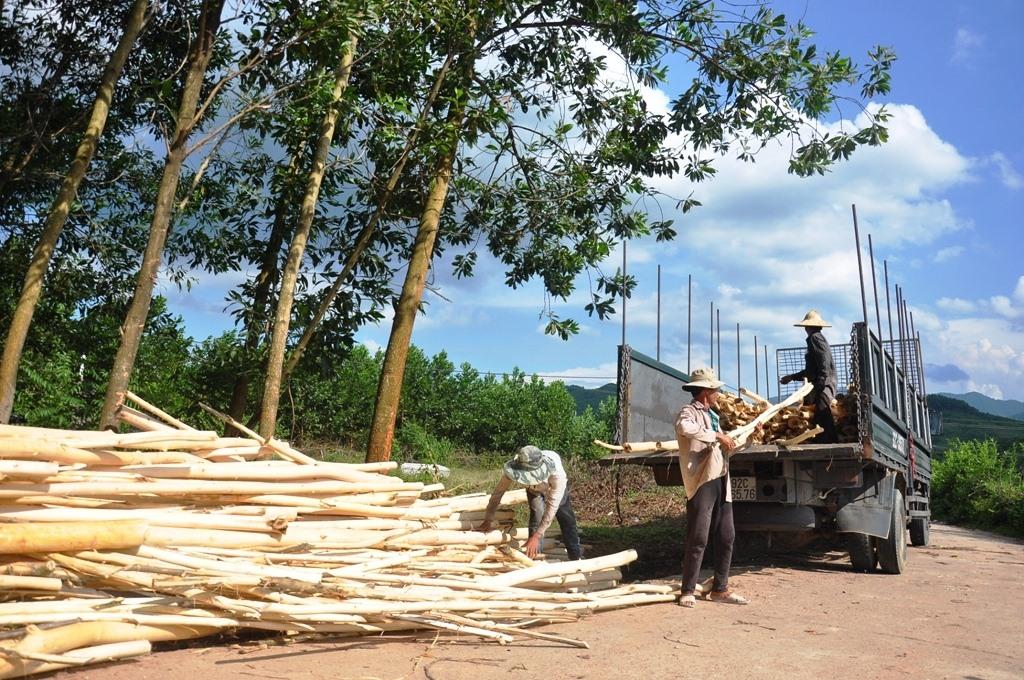 Do ít nhà máy thu mua nguyên liệu nên người trồng rừng gặp khó trong khâu tiêu thụ sản phẩm. Ảnh: VĂN SỰ
