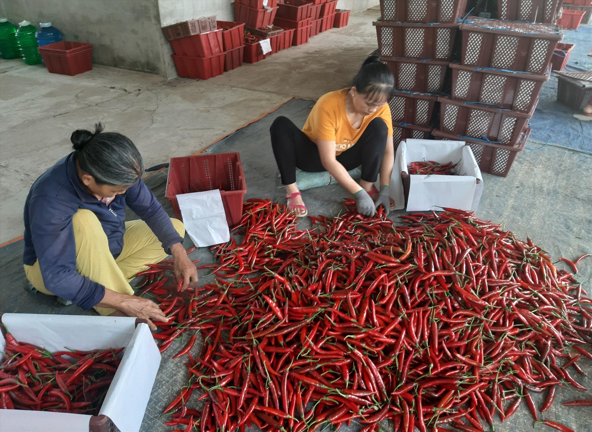 Cần đẩy mạnh việc liên kết sản xuất nông sản theo chuỗi giá trị để tạo đầu ra ổn định và nâng cao hiệu quả kinh tế. Ảnh: VĂN SỰ