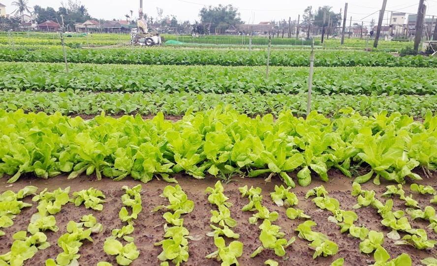 Nhiều luống rau xanh ở Trà Quế đang phát triển tốt hứa hẹn một mùa màng bội thu.