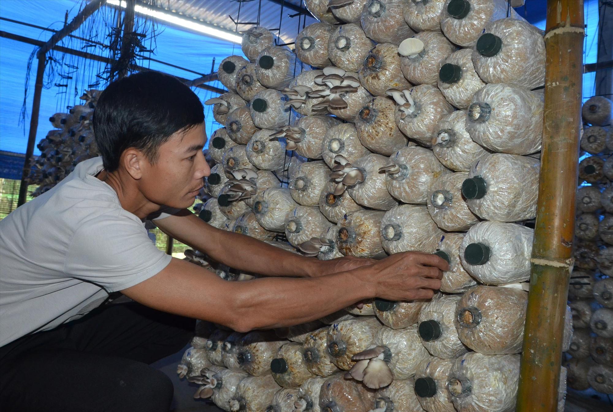 Mô hình trồng nấm bào ngư xám của anh Nguyễn Văn Hòa (thôn 2, xã Tiên Hiệp, Tiên Phước). Ảnh: H.H