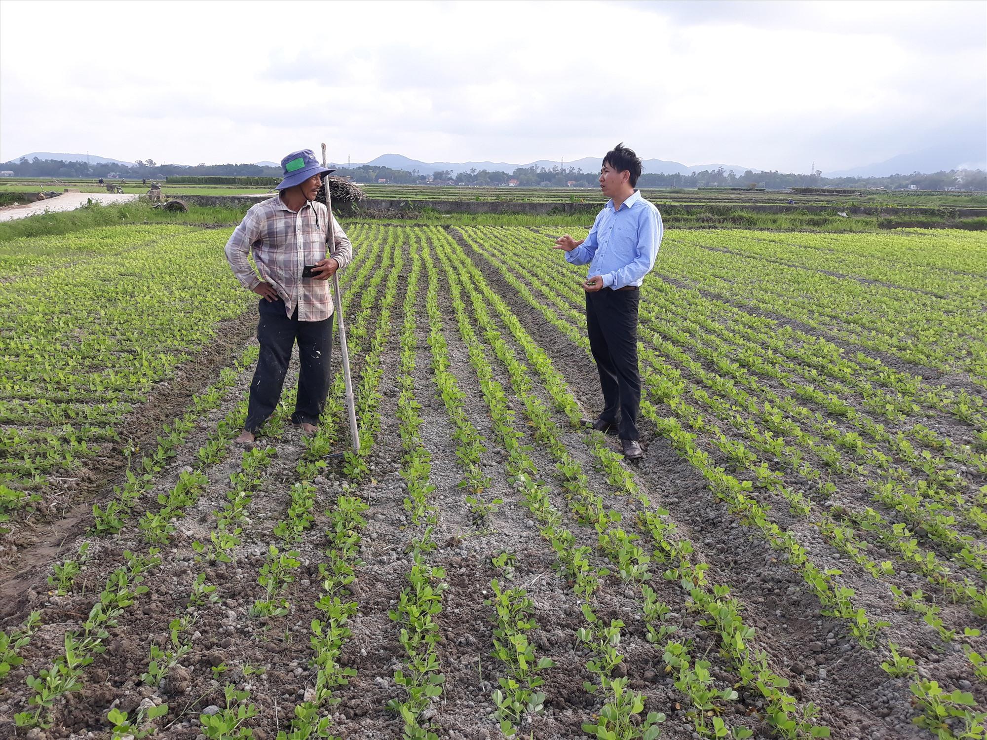 Mô hình sản xuất đậu phộng CSA tại Quảng Nam.