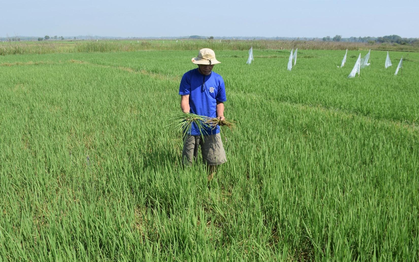 Chuột phá hại lúa trên diện rộng khiến nông dân lo lắng năng suất lúa sẽ giảm. Ảnh: THANH THẮN