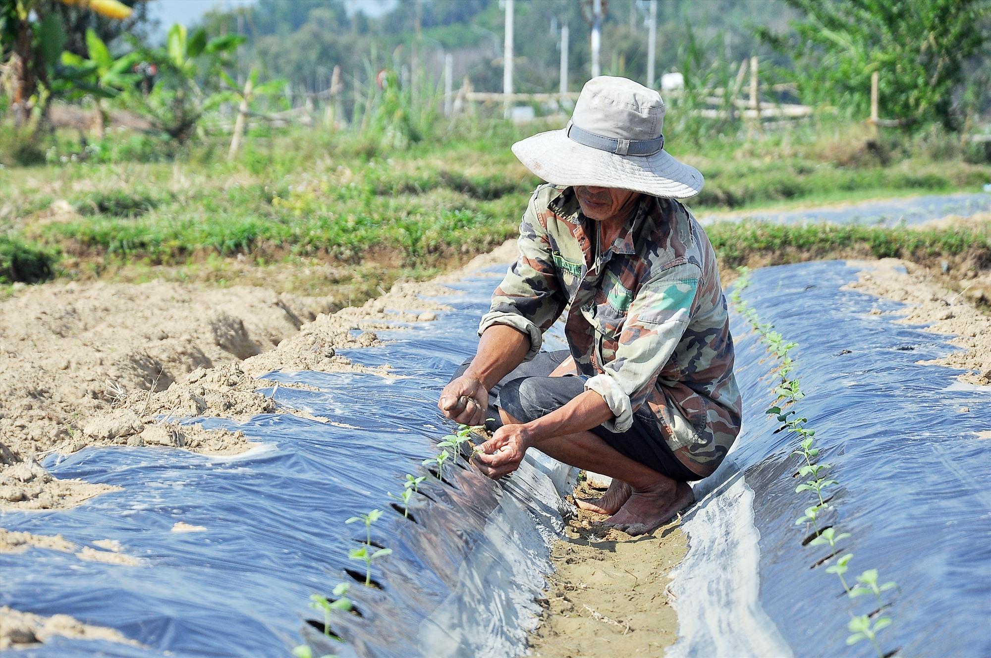 Ông Huỳnh Quang Lộc (xã Tam Phước, Phú Ninh) chăm sóc diện tích dưa hấu vụ đông xuân 2019 - 2020. Ảnh: VINH ANH