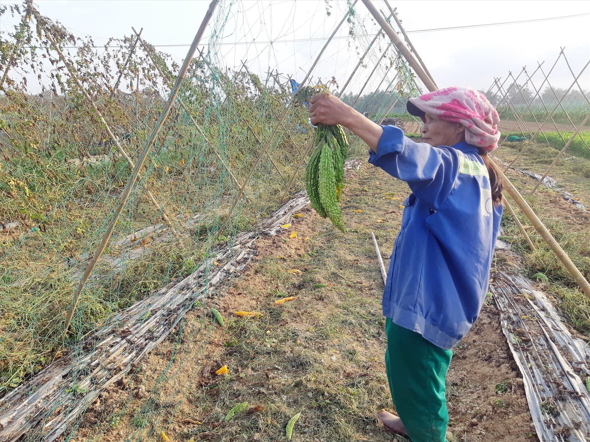Nông dân Đại Lộc thất thu vụ laghim. Ảnh: TRIÊU NHAN