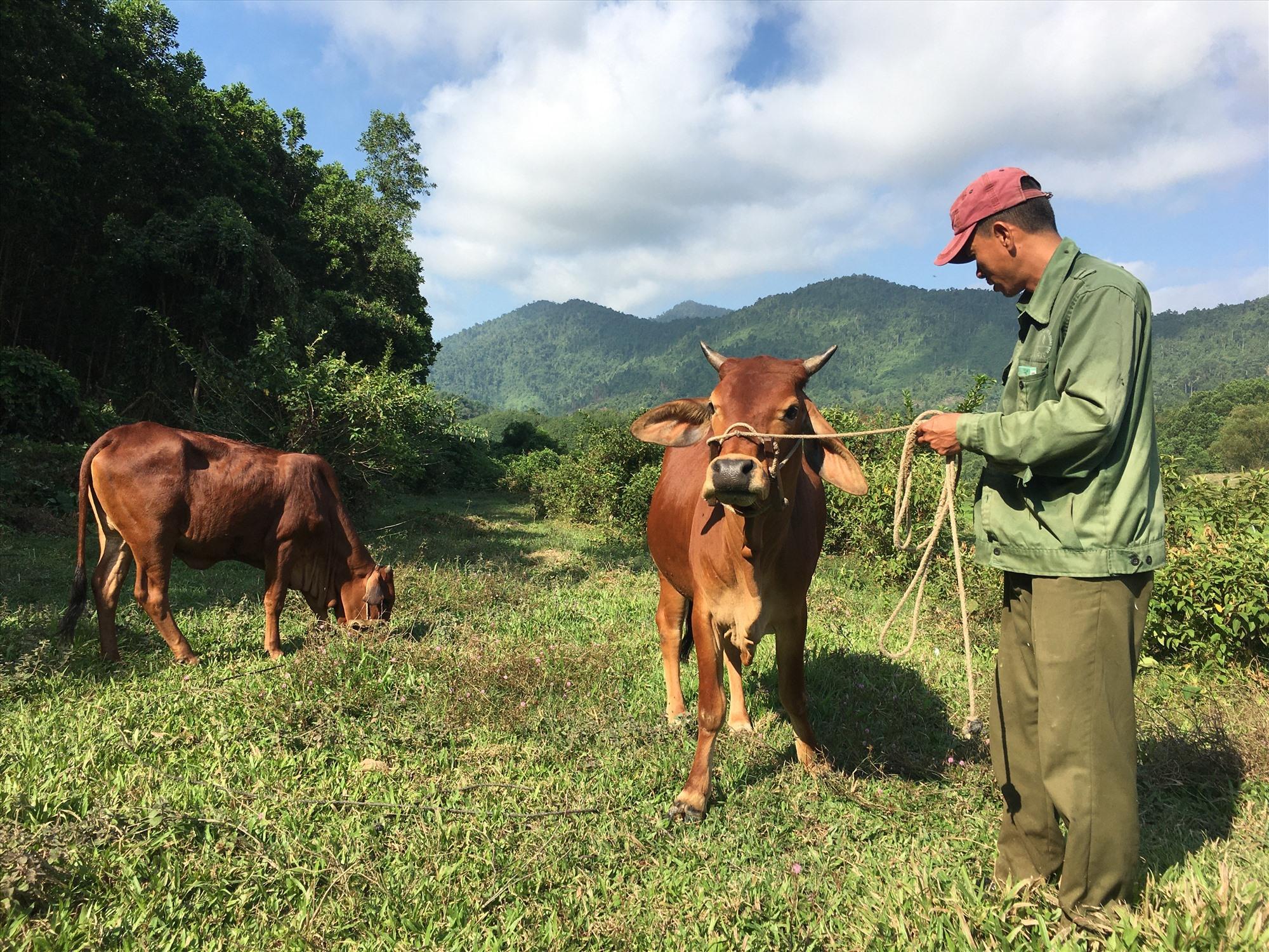 Đàn bò của gia đình ông Nguyễn Văn Thành đã được chữa hết bệnh LMLM.