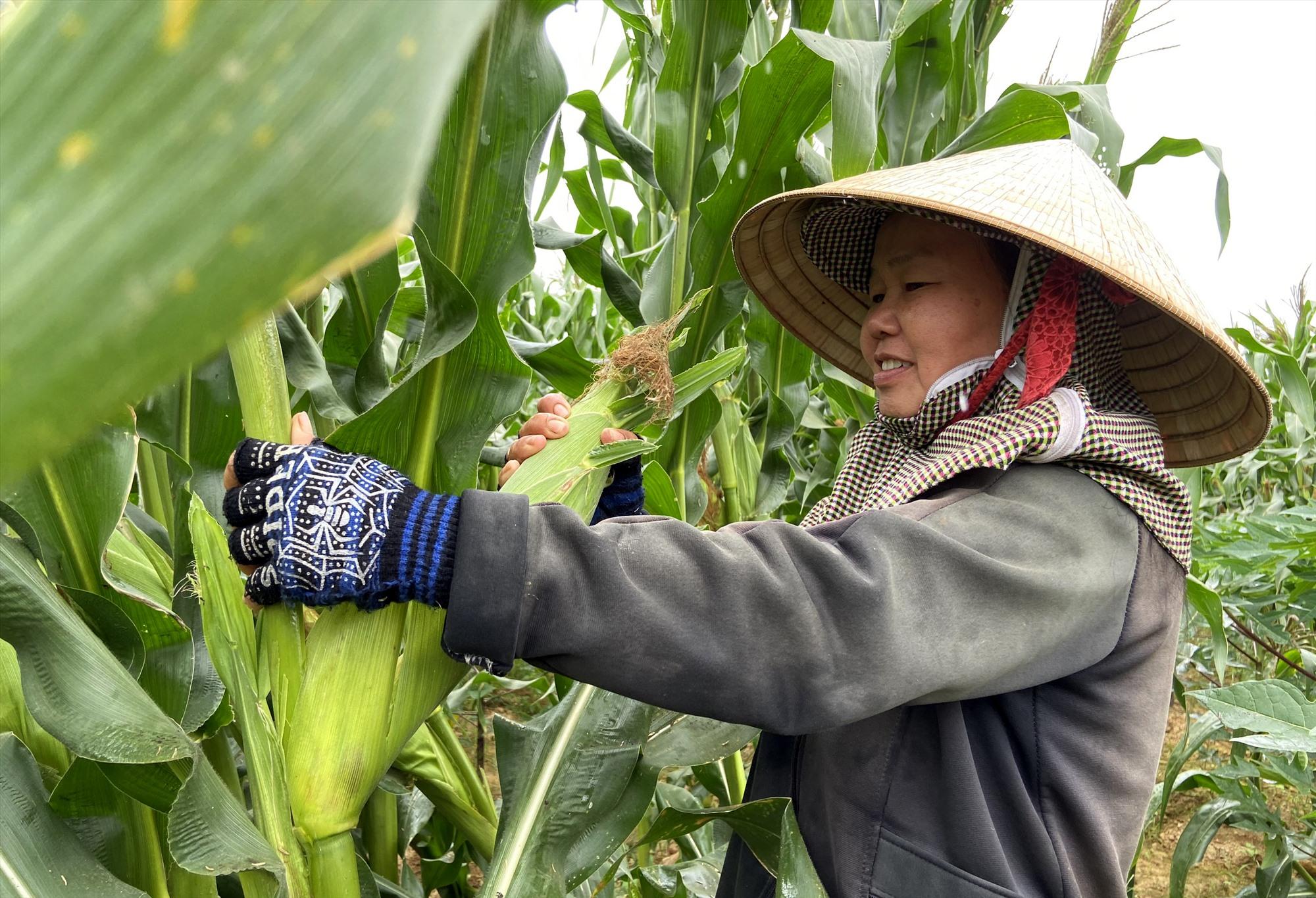 Bà Ngô Thị Quy phấn khởi hái bắp bán cho thương lái. Ảnh: MỸ LIÊN
