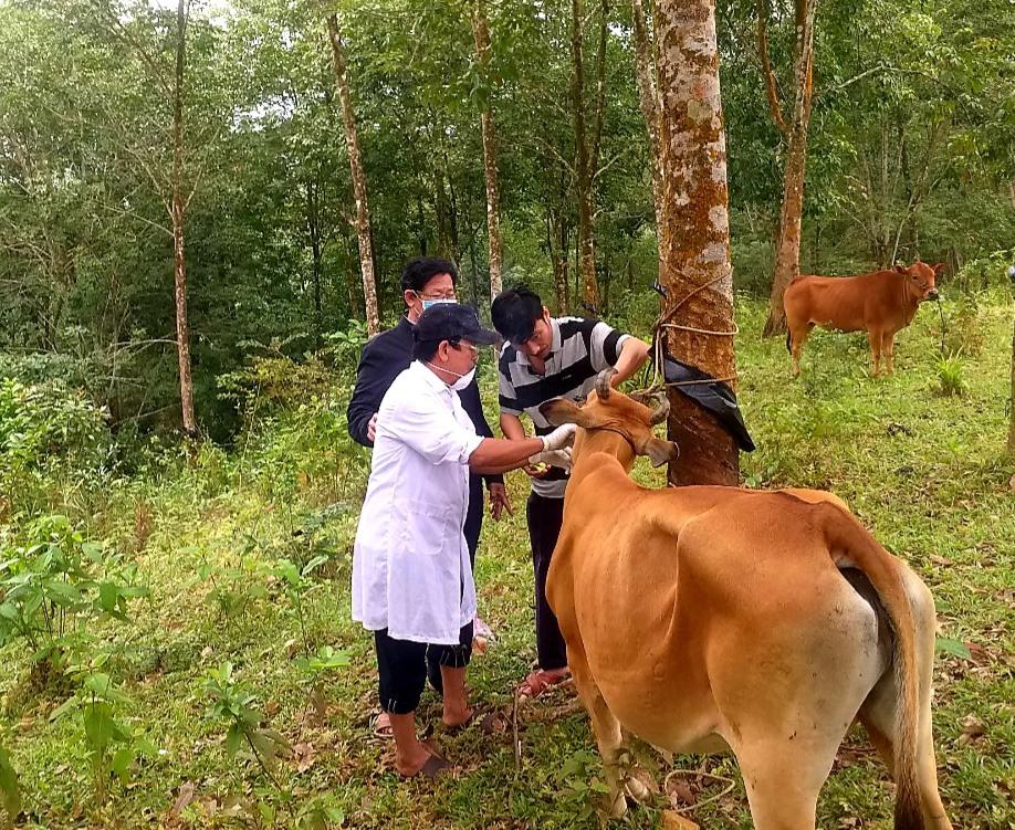 Nhờ ngành chuyên môn tích cực hỗ trợ khâu cách ly và điều trị nên đến nay tất cả 50 con trâu, bò bị nhiễm dịch lở mồm long móng ở Hiệp Đức đã khỏi bệnh. Ảnh: Đ.P