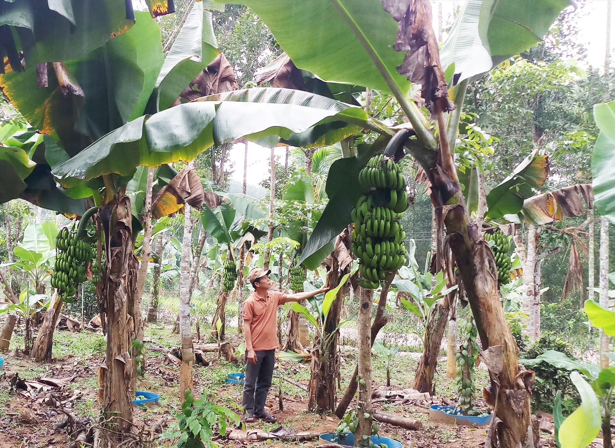 Trung bình mỗi ngày gia đình ông Lê Hồng Sơn thu về khoảng 500 - 700 nghìn đồng từ việc bán chuối mốc, chuối lùn cấy mô. Ảnh: HẰNG HƯNG