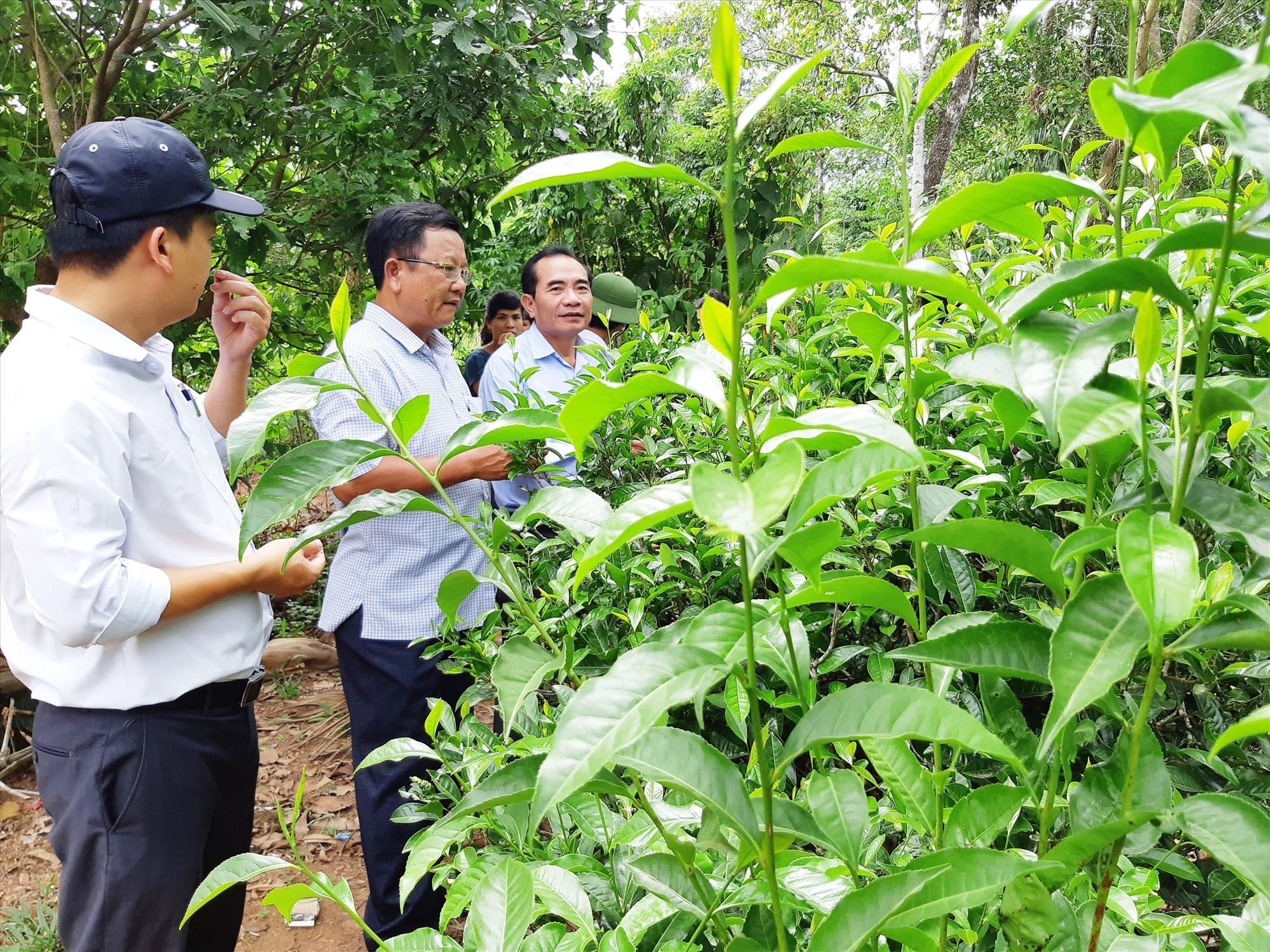 Việc ứng dụng KH-CN thâm canh, nâng cao năng suất cây chè xanh An Bằng đang được Đại Lộc chú trọng. Ảnh: HOÀNG LIÊN