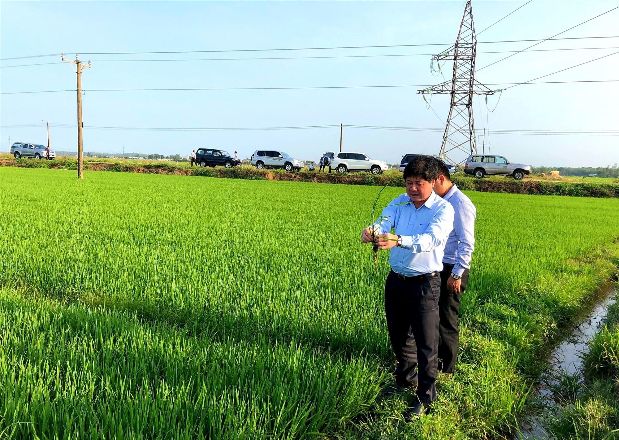 Thứ trưởng Bộ NN&PTNT Lê Quốc Doanh kiểm tra thực tế trên đồng ruộng xã Bình Trung (huyện Thăng Bình) vào chiều qua 6.2.    Ảnh: N.S