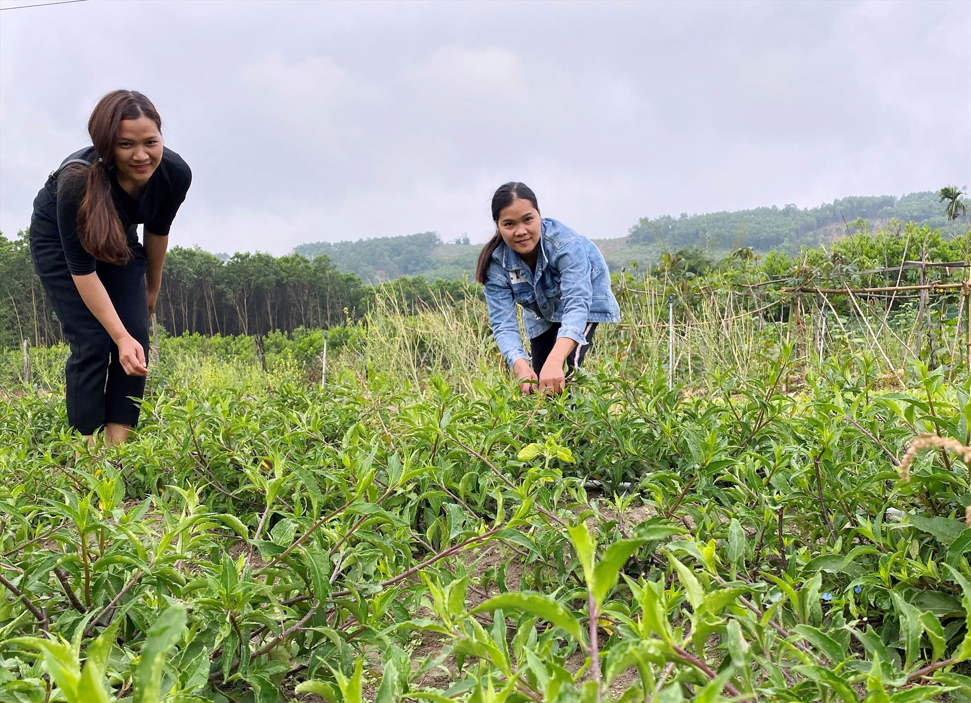 Chị Hồ Thị Tường (phải) đang thu hoạch rau lủi. Ảnh: XUÂN LAM