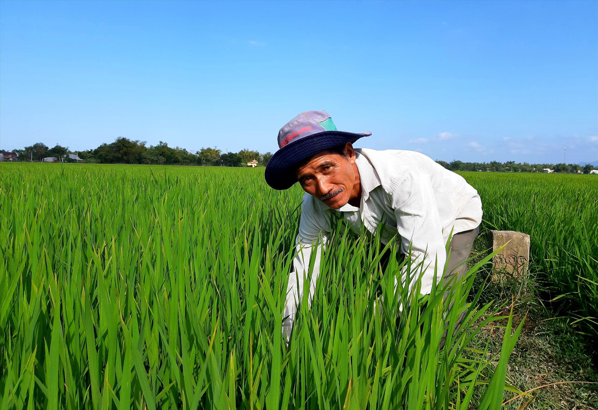 Nông dân xã Đại Minh (Đại Lộc) vạch ruộng lúa để kiểm tra kỹ bệnh đạo ôn nhằm chủ động các biện pháp phòng trừ. Ảnh: TƯ RUỘNG