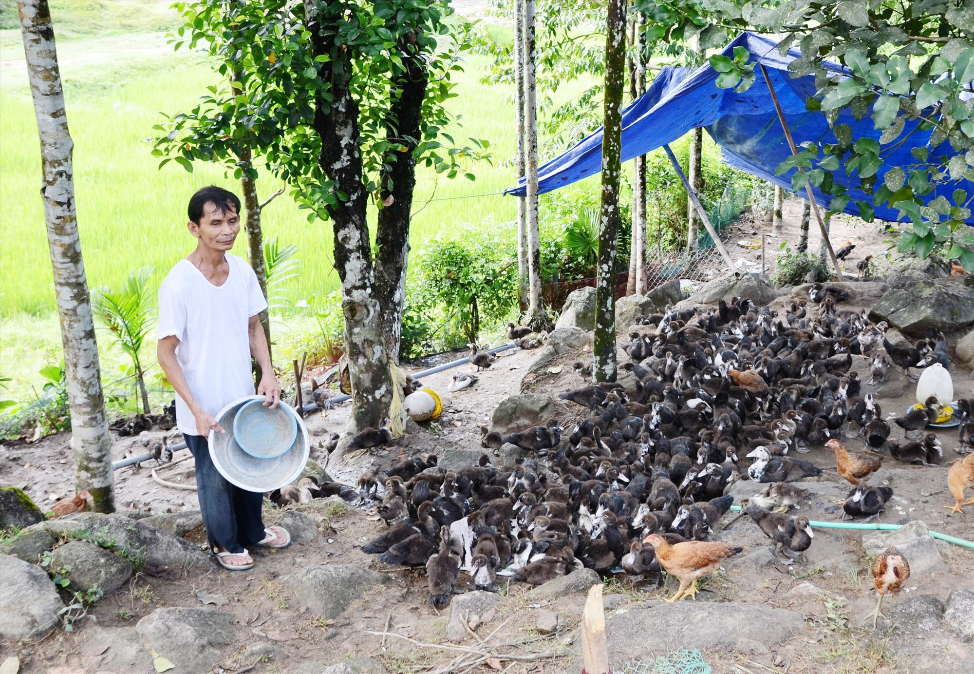 Mô hình chăn nuôi kết hợp trồng trọt của gia đình ông Nguyễn Hữu Nhuận (thôn 3) Tiên Lãnh.Ảnh: H.HOÀNG